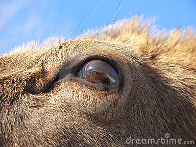Eye of Reindeer