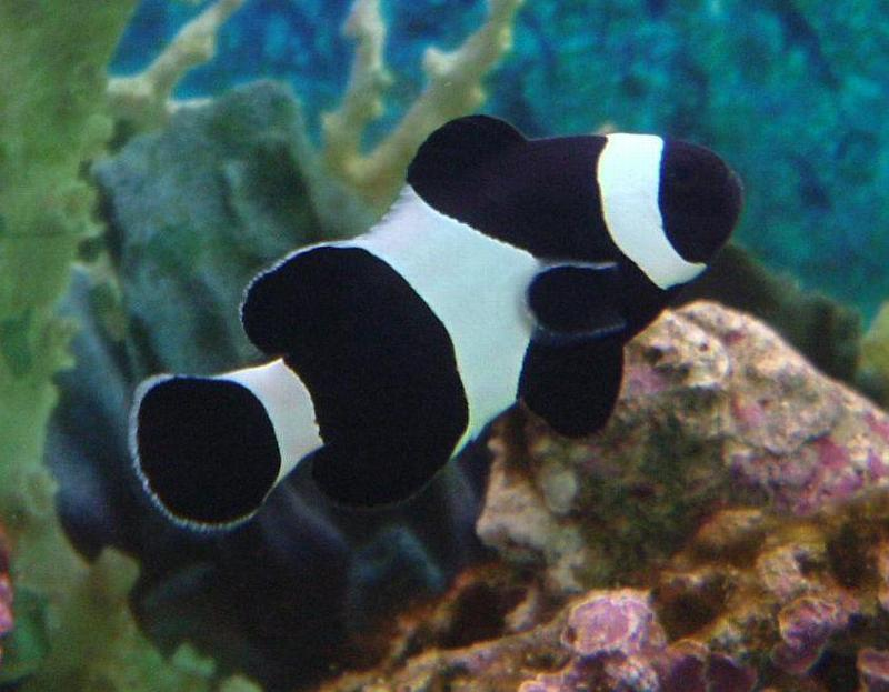 black clownfish rate every animal