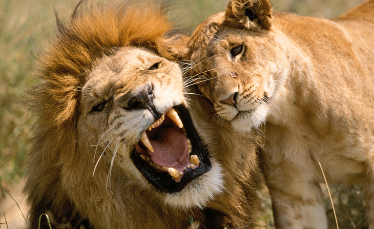 Lion   Rate Every Animal  Lioness
