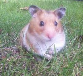 hamster outdoors