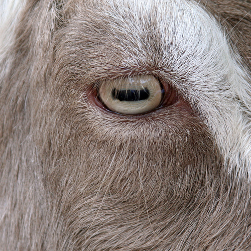Eye of Goat
