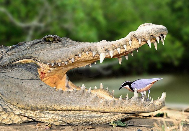 croc and plover