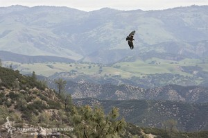 California Condor Flying in Pinnacles National Monument