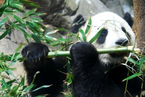 Panda with bamboo jazz flute