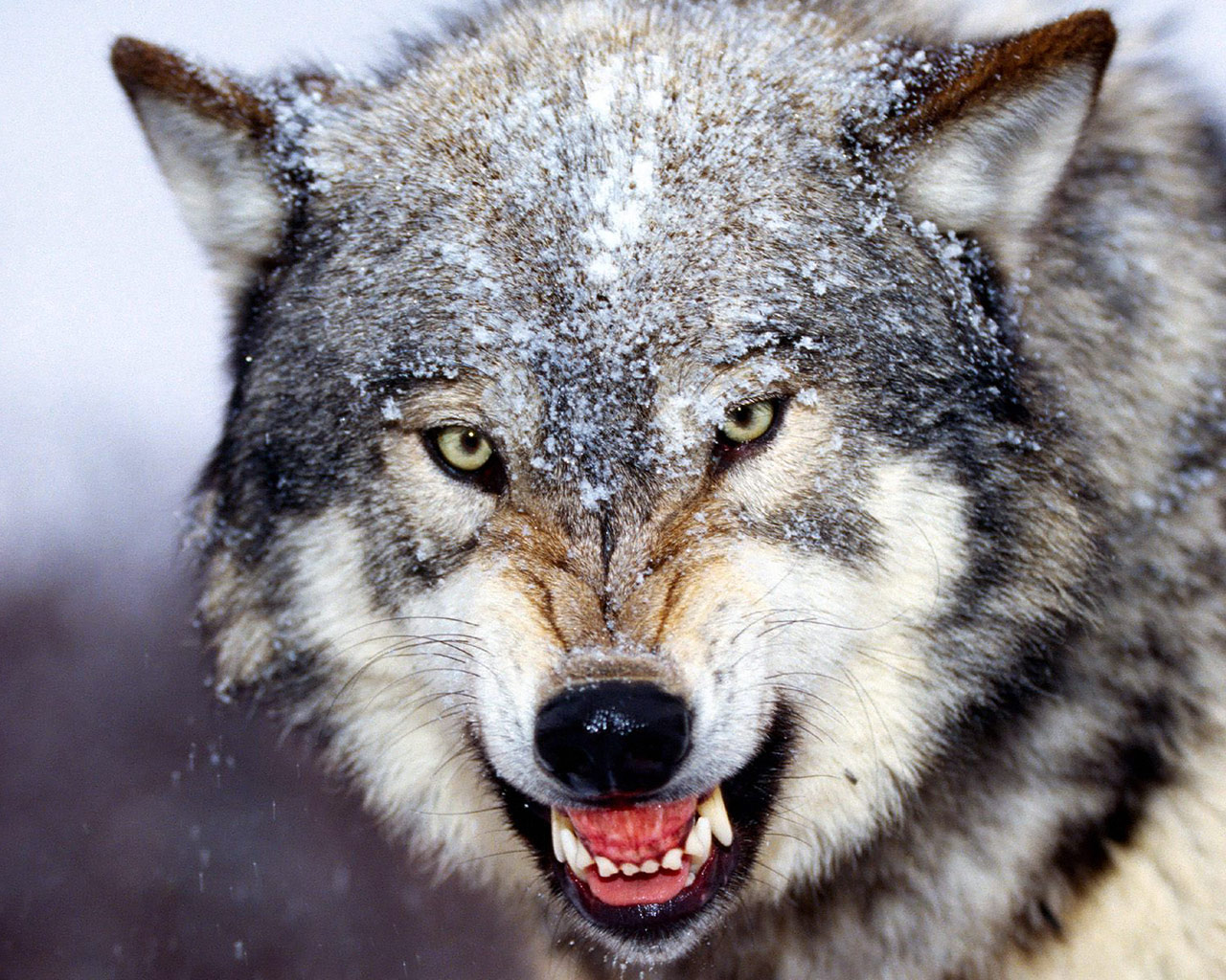 wolf animal wolves grey gray timber every greywolf teeth animals timberwolf social dead wildlife desktop close scary rate eat creatures
