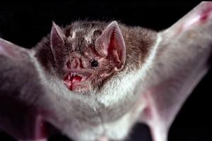 vampire bat being a dracula