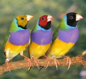 Gouldian finch trio
