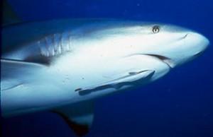 remora on shark