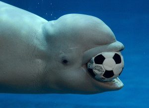 beluga whale and soccer ball