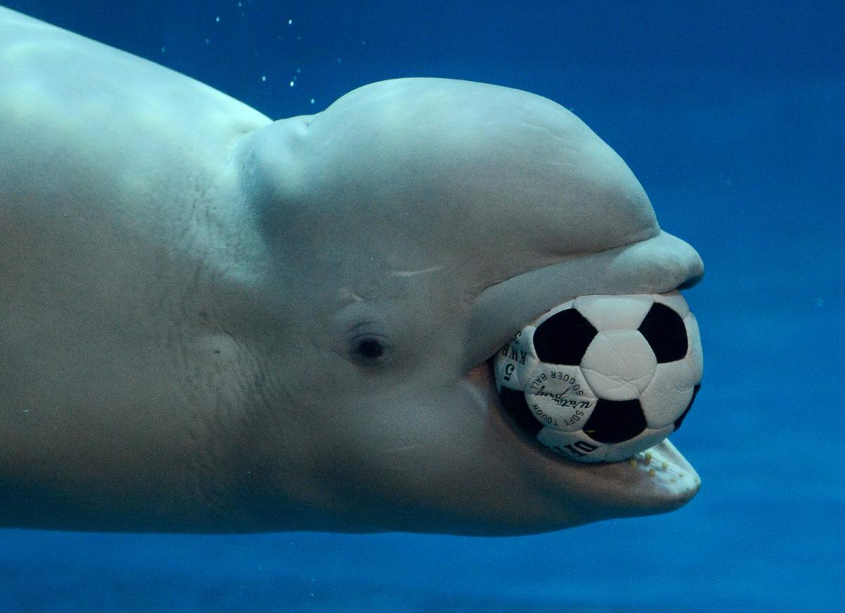 beluga whale rate every animal