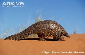 pangolin walking here