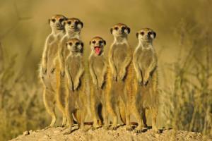 meerkat family photo