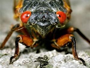 cicada close-up