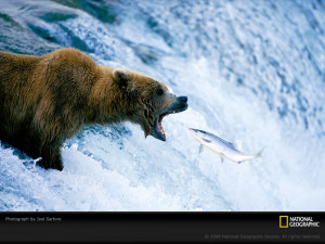 Salmon jumps into bear mouth