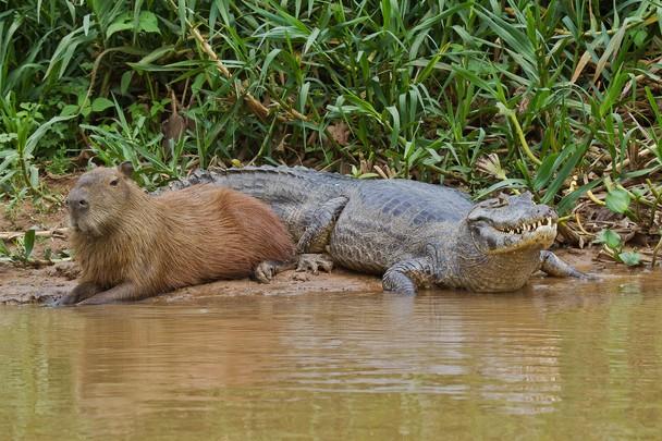 capybara and caiman