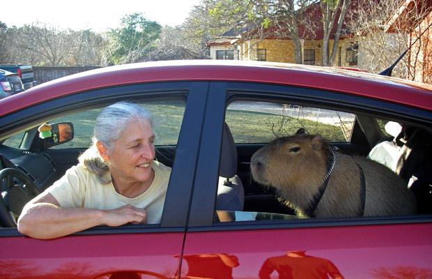 capybara sittin' in the backseat