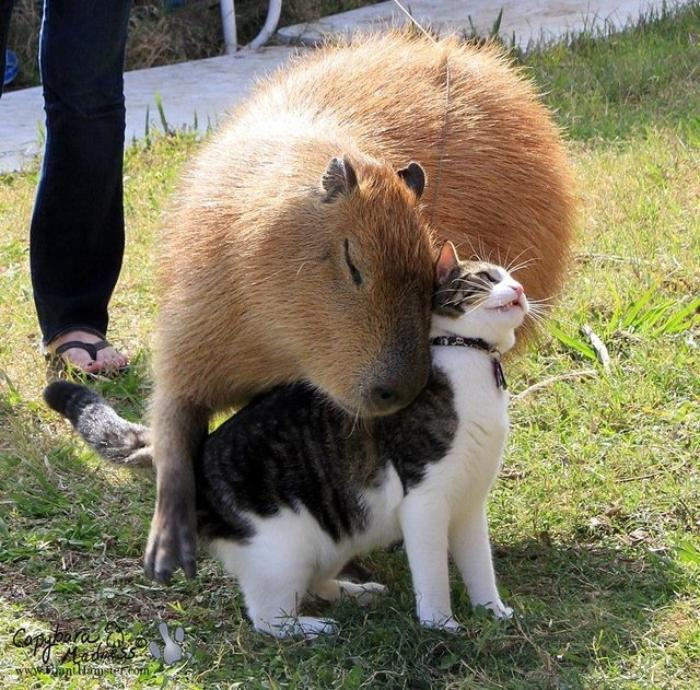 capybara love cat