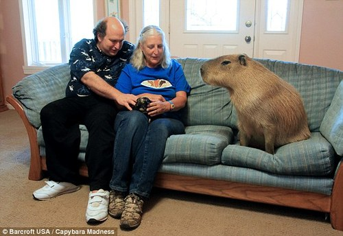 capybara on couch