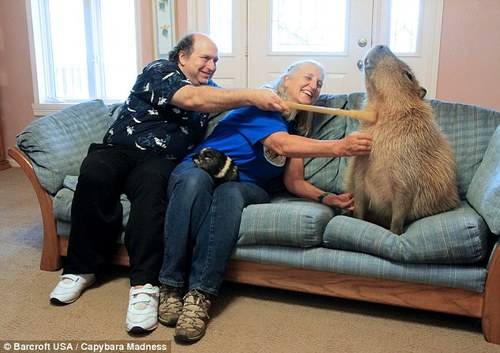 capybara on couch happy