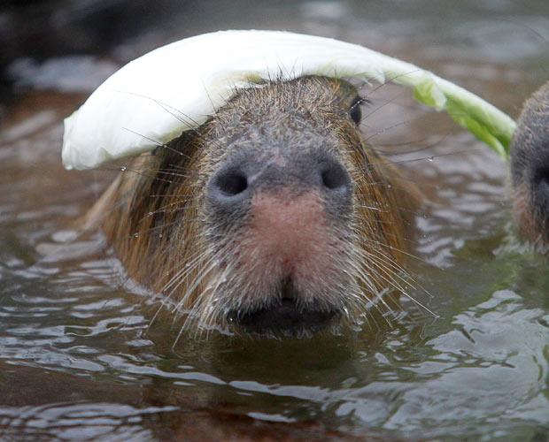 capybara hat