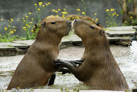 capybaras kiss