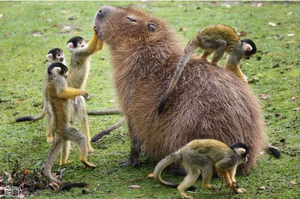 the capybara is beset on all sides