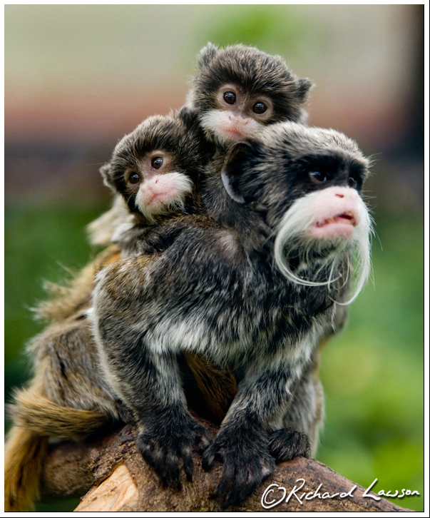 emperor tamarin and family