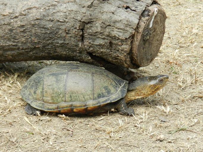 oaxaca mud turtle