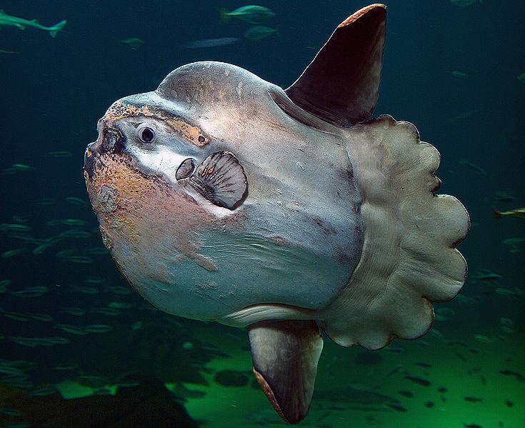 ocean sunfish doin its thing