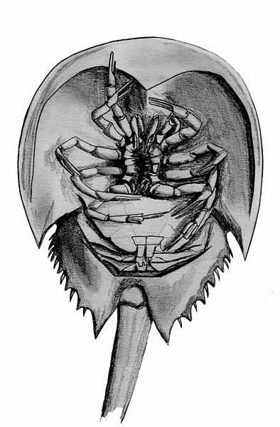 horseshoe crab: the view from below