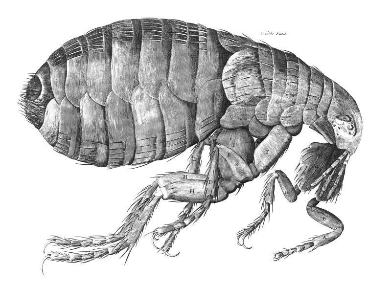 flea in profile by Robert Hooke