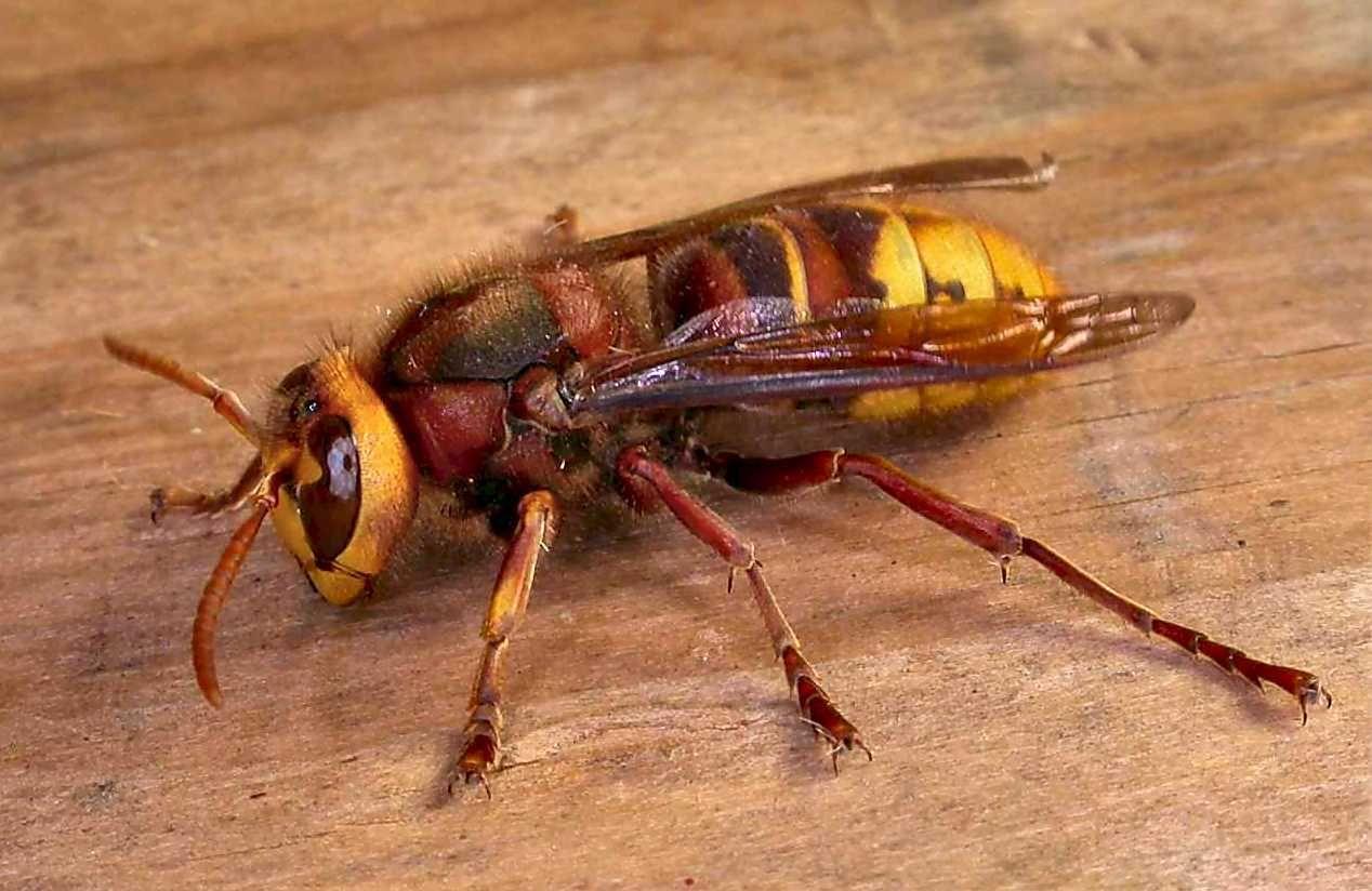 The mortal hornet