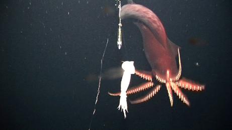 dana octopus squid caught on camera