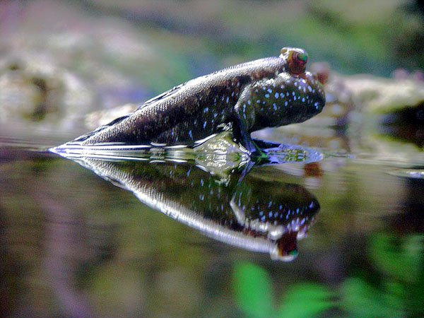A creature of both water and earth. Ponder the duality of mudskipper. (Photo by K. Leonard)