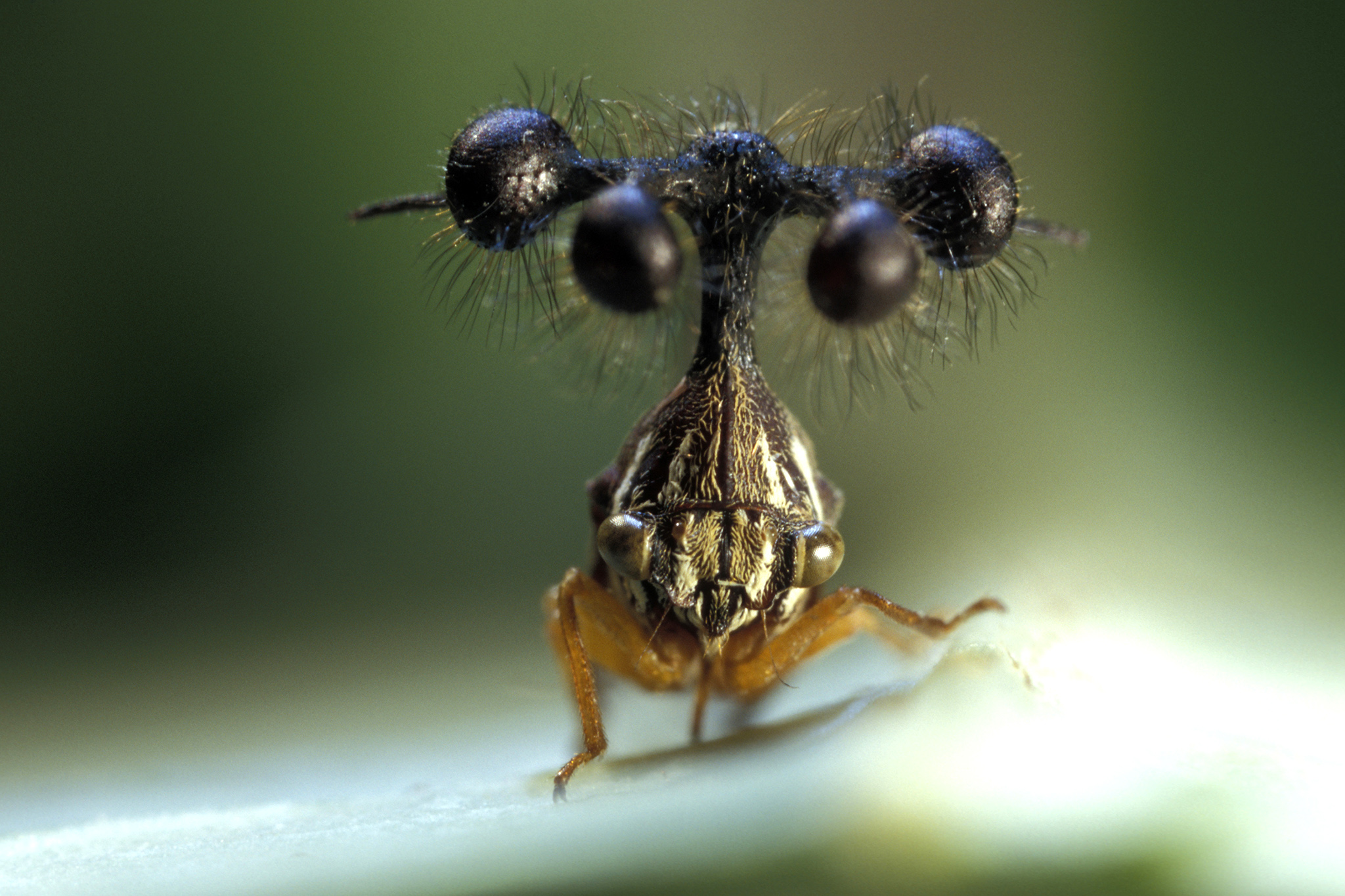 RImage  FRENCH GUYANA - SEPTEMBER 2005: Bocydium globulare, fullface. The sensory hairs or sensillae around the little balls may act as a warning for the insect by capturing air vibrations when any predators approach. (Photo by Patrick Landmann/Exclusive by Getty Images)