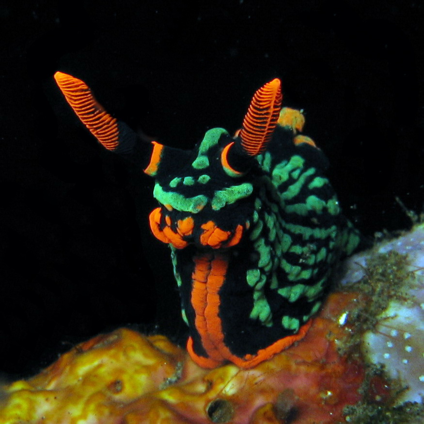 nudibranch3