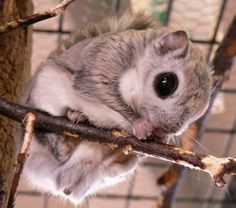 The Japanese dwarf flying squirrel, whose huge pure black eyes have it straddling the line between adorable and monstrous